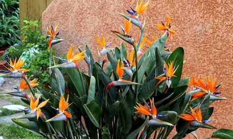 1 oder 2 Sets mit 2 Paradiesvogelblumen in Haus