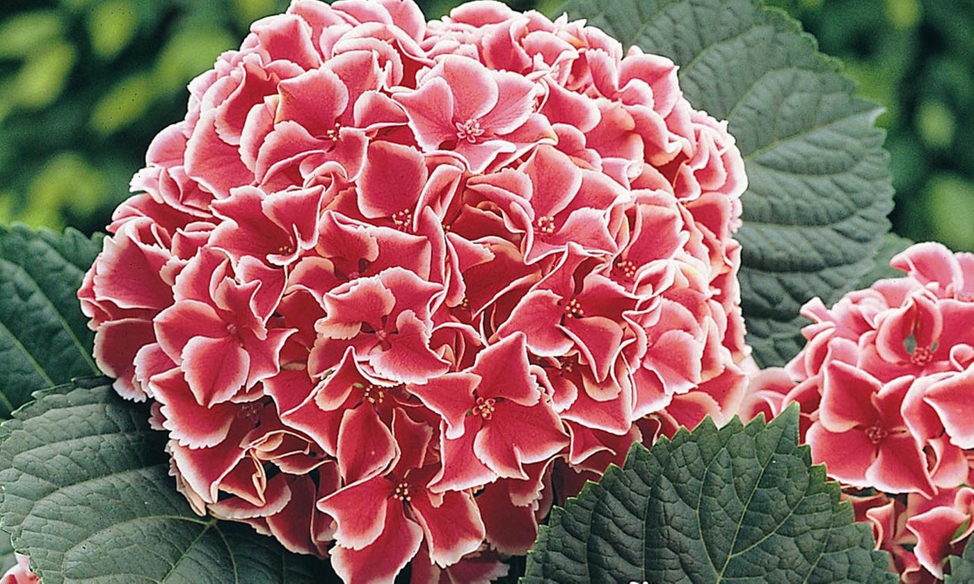 Hydrangea Bicolour Camilla – Up to 3 Plants