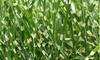 1 of 2 XL Miscanthus 'Zebrinus' siergras planten
