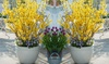 Dwarf Gold Forsythia Plants