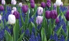 Up to 40 Tulip & Muscari Bulbs