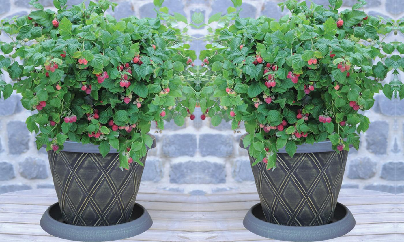 Summer Fruiting Raspberry Ruby Beauty - 1, 2 or 3 plants