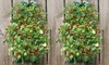 Organic Patio Roma or Sweet Cherry Tomato Garden  (1-, 2-, or 3-Pack): Organic Patio Roma or Sweet Cherry Tomato Hanging Garden  (1-, 2-, or 3-Pack)