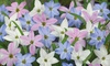 Up to 100 Ipheion Starflower Bulbs