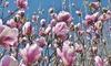 Set OH2 magnolia's