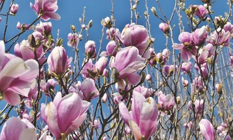 Set de 3 o 6 plantas de Magnolia