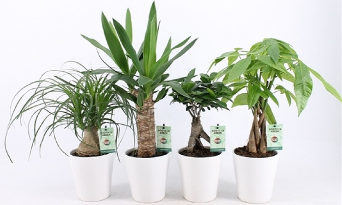 Large Indoor House Trees: Three Or Six Potted Houseplants