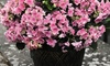 One or Two Hydrangea Double Dutch Edam Plants in 14cm Pot
