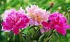 Fragrant Peony Collection (3 Roots): Fragrant Peony Collection (3 Roots)