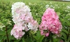 Hydrangea Fraise Melba Plant