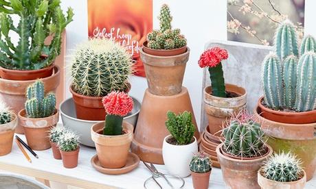 Set de 6, 9 o 12 mini cactus