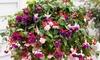 Garden Ready Trailing Fuchsia
