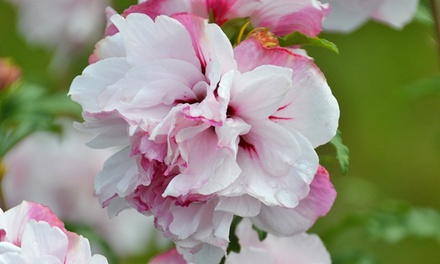 One, Three or Six French Cabaret Hibiscus Plant Roots in Choice of Colour