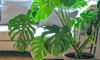 1 o 2 piante Monstera Deliciosa XL