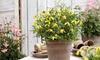 Clematis Little Lemons Plants