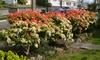 Pakket Pieris Forest Flame planten