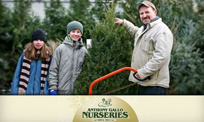 Anthony Gallo Nurseries - Flatlands: $49 for a Balsam or Fraser Fir Tree Up to Eight Feet Tall from Anthony Gallo Nurseries in Brooklyn (Up to $120 Value)