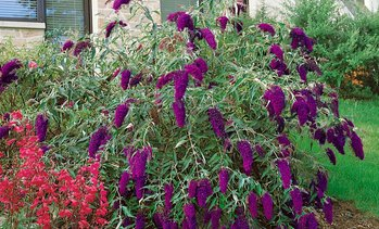 "Pre-Order: Tricolor Butterfly Bush Plants in 3"" Pots (3-Pack)"