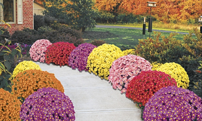 Chrysanthemum Seeds Home Depot
