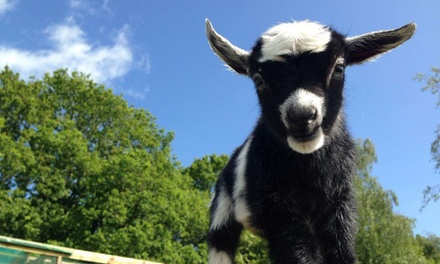 Farm Entry For Two Adults or Family of Four at Totnes Rare Breeds Farm (Up to 50% Off)