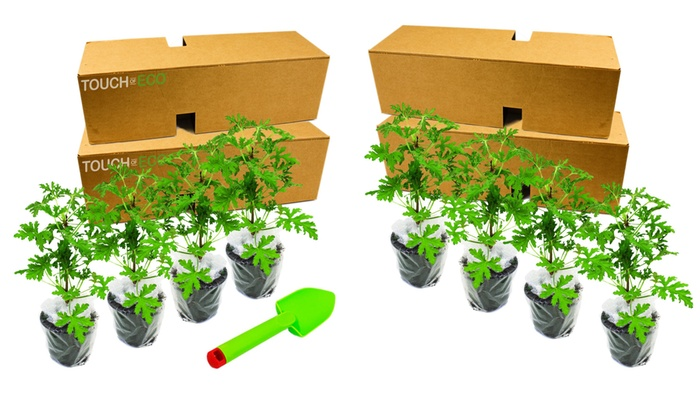 Citronella Anti Mosquito Plants 2 4 Or 8 Pack With Shovel