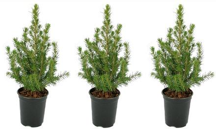 Three or Six Mini Christmas Trees