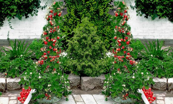 jusqu'à 25% set fraisiers grimpants hummi® | groupon