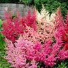 Pre-order Astilbe Tall and Dwarf Mix of Bare-Root Plants (5 Plants)