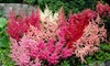 Pre-order Astilbe Tall and Dwarf Mix of Bare-Root Plants (5 Plants): Pre-order Astilbe Tall and Dwarf Mix of Bare-Root Plants (5 Plants)