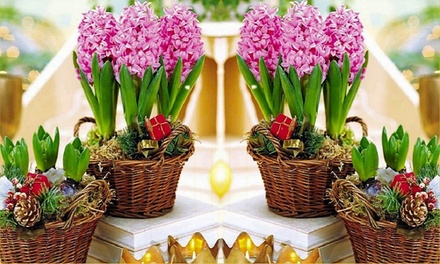 One £10, Two £17.99 or Three £24.98 Pots of Fondant Pink Hyacinths With Free Delivery