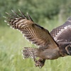 Bird of Prey or Owl Encounter In Herts or Cambs
