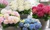 1x oder 2x Gartenhortensie mit üppigen Blüten in der Farbe nach Wahl