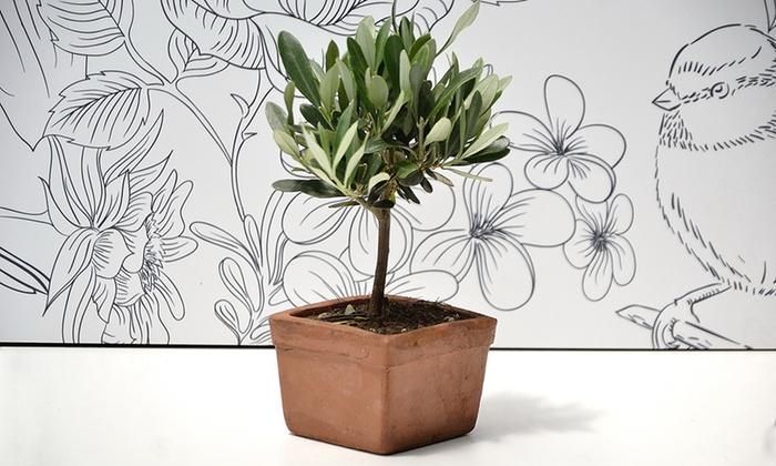 Bonsai ulivo in vaso groupon for Ulivo bonsai prezzo