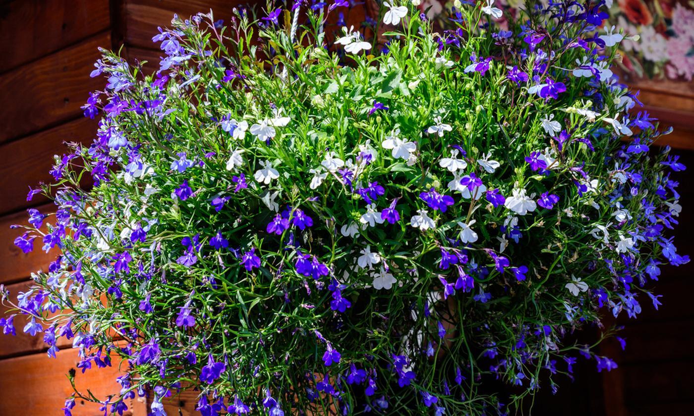 Set of Six Garden-Ready Trailing Lobelia Plants
