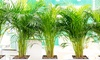 Palmiers d'intérieur mixtes
