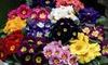 Primrose Husky Mixed 15 or 30 Garden Ready Plants