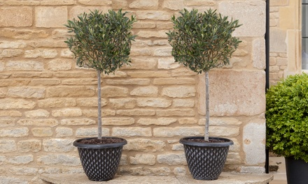 One or Two Standard Olive Trees with Optional Planters