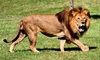 Lion Country Safari, Inc. - Western West Palm Beach: $19 for a Safari-Park Visit with Parking at Lion Country Safari (Up to $35.95 Value)