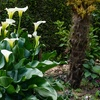 Pre-Order: Giant Calla Lily Bulbs (5-Pack)