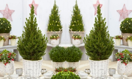 One or Two Contemporary Christmas Trees in White Baskets from £19.99 With Free Delivery