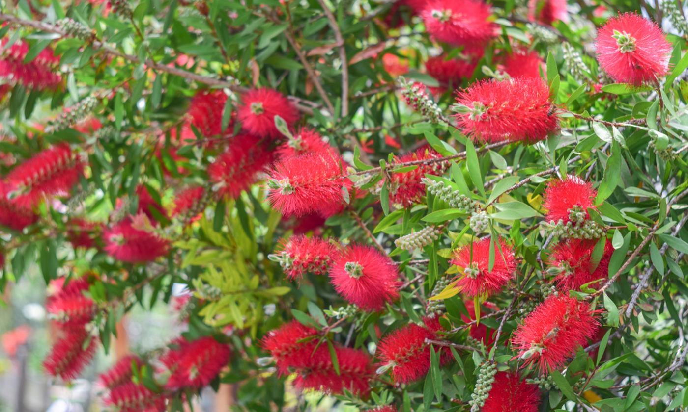 One or Two Bottlebrush Callistemon Tub Plants