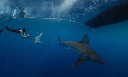 Shark-Cage Diving Encounter or Open Water Shark Dive for One or Two from Hawaii Adventure Diving (Up to 44% Off)