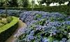 Hydrangea serrata 'Summer Glow'-planten