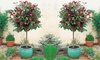 Photinia Red Robin Tree