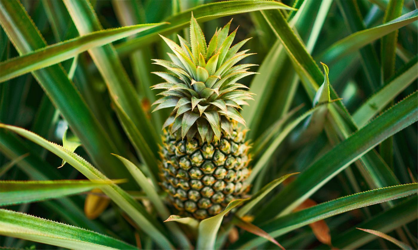 One or Two Edible Indoor Pineapple Plants