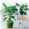 bis zu 67 rabatt 4er set zimmerpflanzen groupon. Black Bedroom Furniture Sets. Home Design Ideas