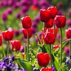 Pre-Order: Bella's Blossoming Tulip Bulb Mix (12, 24 or 48 pack)