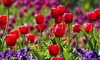 Pre-Order: Bella's Blossoming Tulip Bulb Mix (Up to 48-Pack): Pre-Order: Bella's Blossoming Tulip Bulb Mix (12, 24 or 48 pack)