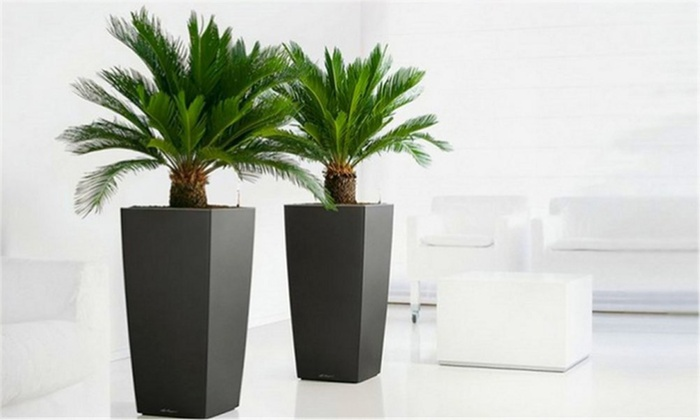 Cycad King Sago Palm Trees Groupon Goods