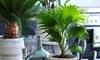 Pianta di palma Livistona